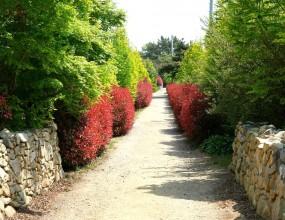 초록과 붉은 색의 조화돌담길을 따라 늘어선 홍가시 나무길입니다.
